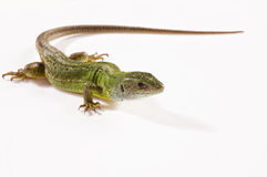 Reptile. Little green reptile on a white background royalty free stock photo