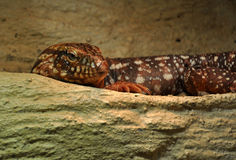 Reptile Stock Images
