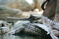 Reptile. One reptile  resting on another Stock Image