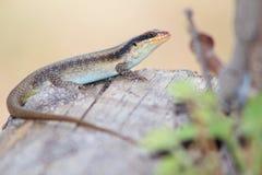 Reptile africain - ami écallieux de Lizzard Image libre de droits
