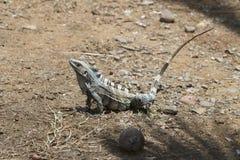 Reptile on Alert Stock Photos