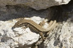 A reptile animal lizard that walks among the stones. stock photos