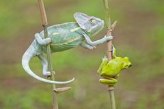 Reptile, animals, chameleon, frog, tree frog, dumpy frog, Royalty Free Stock Photos
