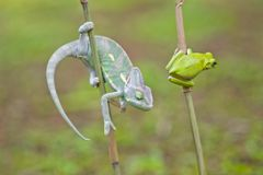 Reptile, animals, chameleon, frog, tree frog, dumpy frog, Royalty Free Stock Images