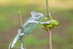 Reptile, animals, chameleon, frog, tree frog, dumpy frog, Royalty Free Stock Photo