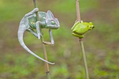 Reptile, animals, chameleon, frog, tree frog, dumpy frog, Stock Photo
