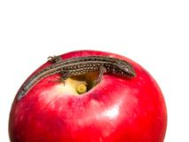Reptile on Apple Stock Photo