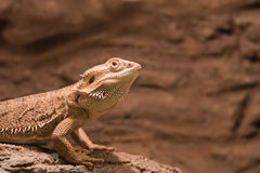 Reptile Bearded Agama. Reptile called Pogona vitticeps - Bearded Agama Stock Image