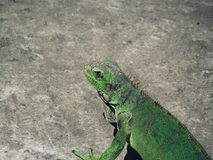 Reptile in the city Royalty Free Stock Images