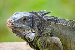 Reptile close up Stock Images