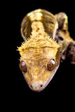 Reptile close up on black Stock Photo