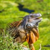 Reptile d'iguane Photographie stock libre de droits