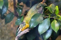 Reptile de caméléon de Jacksons se reposant sur une branche d'arbre entièrement… photo stock