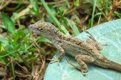 Reptile de lézard dans des jardins de Moir, Kauai, Hawaï images stock