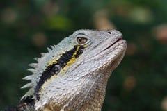 Reptile de lézard de Frillneck Photographie stock