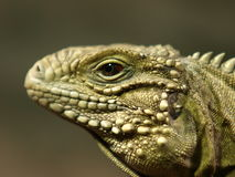 Reptile detail Royalty Free Stock Photo
