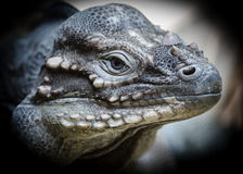 Reptile dinosaur. Closeup of an Iguana reptile with many similarities to a dinosaur royalty free stock photo
