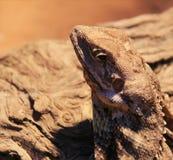 Reptile dragon Lizard Royalty Free Stock Photo