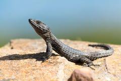 Reptile en Afrique du Sud Image stock