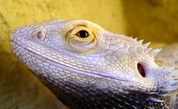 Reptile eye. Little dragon, reptile eye, pogona viticeps royalty free stock images
