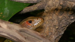 Reptile Face and Black Tongue Closeup stock video footage