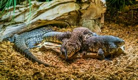 Reptile family of black and white giant tegus together, tegu laying on top of another one, dominant animal behavior, tropical. A reptile family of black and stock photos