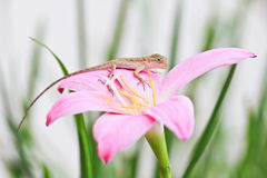 Reptile on flower Royalty Free Stock Photo