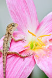 Reptile on flower Royalty Free Stock Photography