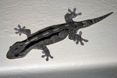 Reptile Gecko preys on insects. South Africa. Lizard Gecko on the wall. Reptile preys on insects. South Africa stock image