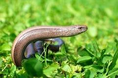 Reptile genus Anguis fragilis. On meadow Stock Photo