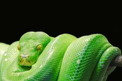Reptile, Green, Scaled Reptile, Snake Stock Image