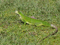 Reptile Guadeloupe. Green iguana in the meadow Stock Photo