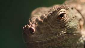 Reptile head close up Royalty Free Stock Image
