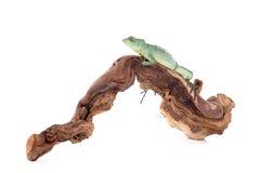 reptile Royalty Free Stock Photo