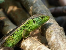 Reptile, Lacerta bilineata in the Sun. 