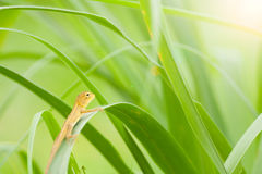 Reptile. Lacertilia little grip on the yellow leaves among green background blur. A type of reptile Royalty Free Stock Photo