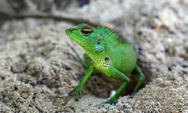 Reptile laying eggs. On a sandy beach I took a shoot of a green lizard while he was laying eggs Stock Images