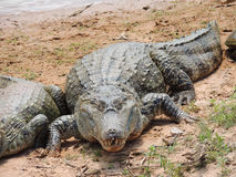 Reptile Royalty Free Stock Images