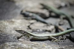 Reptile, Lizard, Lacertidae, Scaled Reptile royalty free stock images