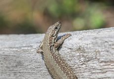 Reptile, Lizard, Lacertidae, Scaled Reptile royalty free stock image