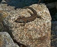 Reptile, Lizard, Scaled Reptile, Lacertidae Royalty Free Stock Photography