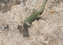 Reptile, Lizard, Scaled Reptile, Lacertidae royalty free stock photos