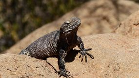 Reptile, Lizard, Scaled Reptile, Terrestrial Animal stock image