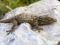 Reptile, Lizard, Scaled Reptile, Terrestrial Animal stock images