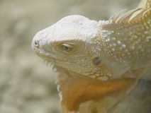 Reptile Lizzard. Reptile rocks watching satisfied colour gold scales curious white Stock Photography