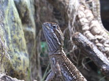 Reptile. Look up upwards in front of a tree Stock Photo