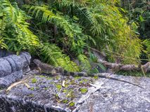 Reptile masqué dans le jardin photos stock