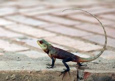 Reptile owner at Sri Lanka Hotels Royalty Free Stock Image