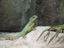 Reptile Posing Royalty Free Stock Photos