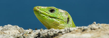 Reptile. The reptile is relaxing underneath the sun Royalty Free Stock Images